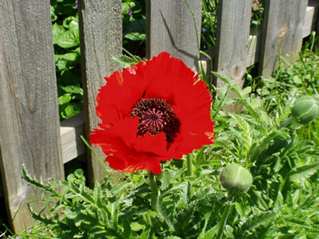 Poppy Bloom